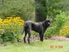Giant Maso Mastiff, 9 months in picture, Brindle